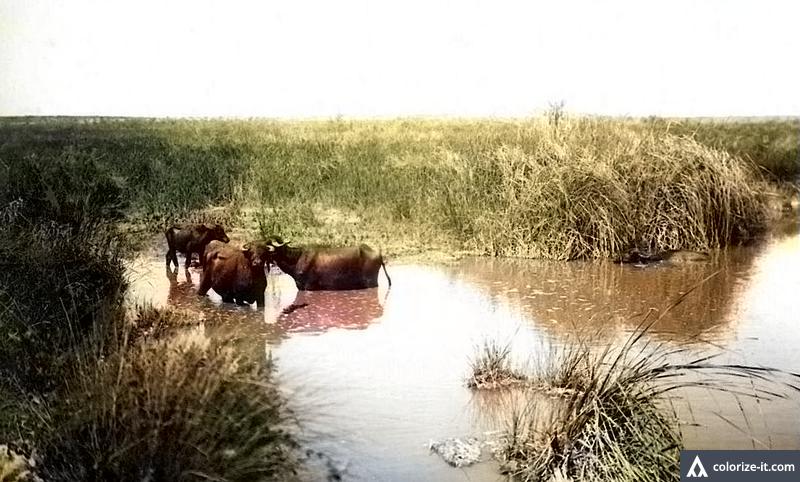 עדרי תיאו בביצות כבארה