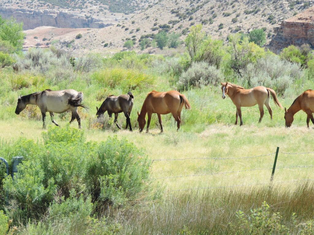 עדר סוסי בר