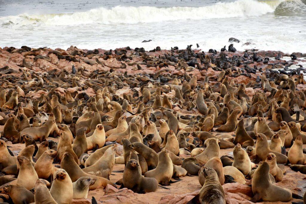 מושבת דובי ים קיפ קרוס